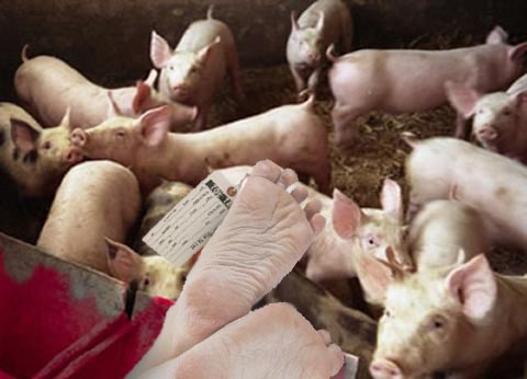Pig system to remove human bodies